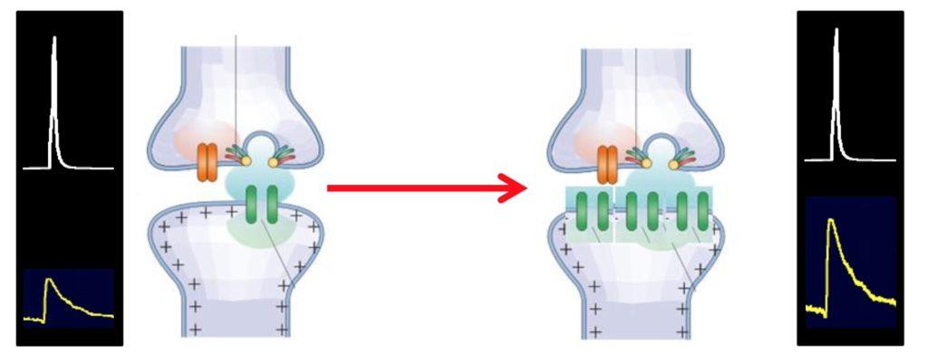 Realizzazione di più canali nella cellula post sinaptica