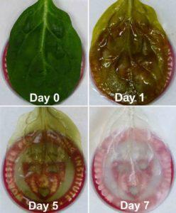Processo di decellularizzazione dello spinacio
