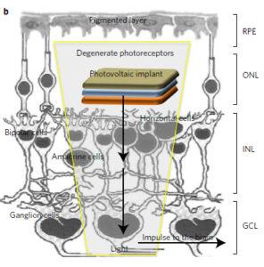 Processo di fototrasduzione con la retina organica, ossia la conversione della luce in segnale elettrico, che viene poi portato al cervello mediante il nervo ottico