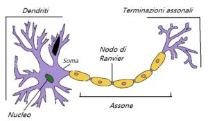 Schema del neurone