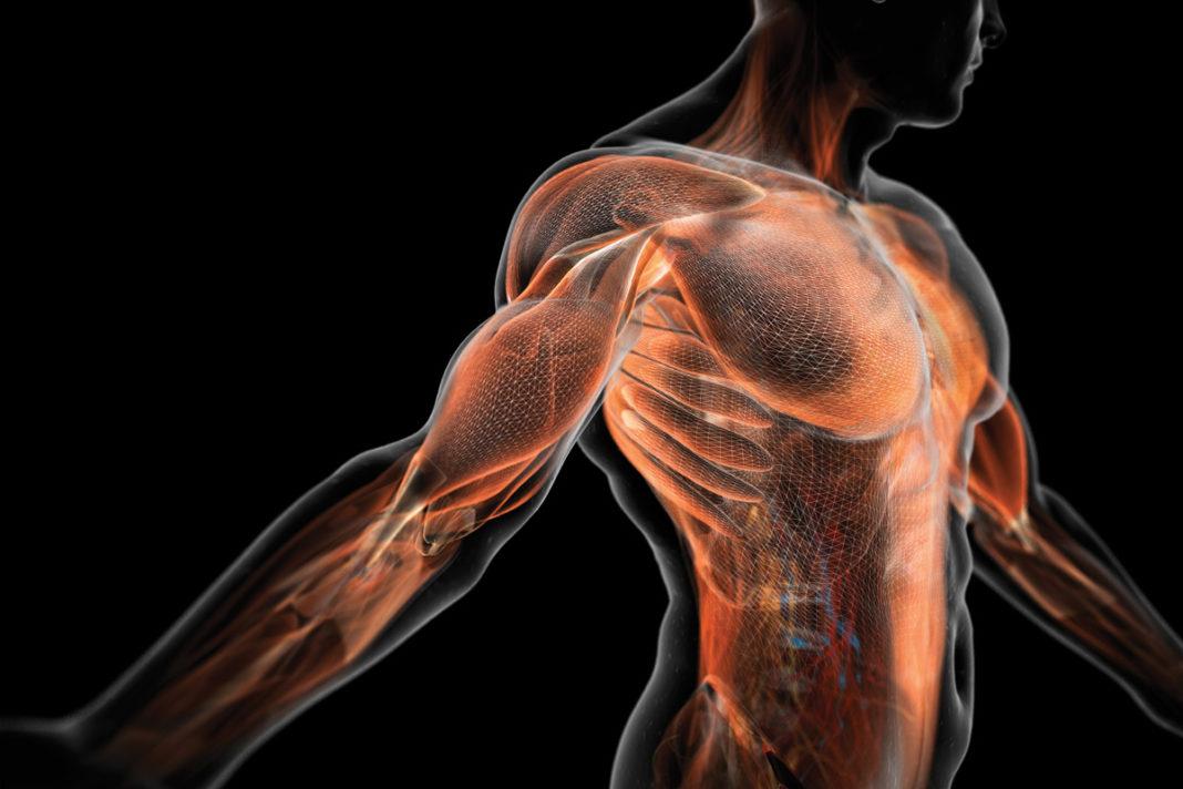 Nuovi muscoli artificiali sempre più simili a quelli umani