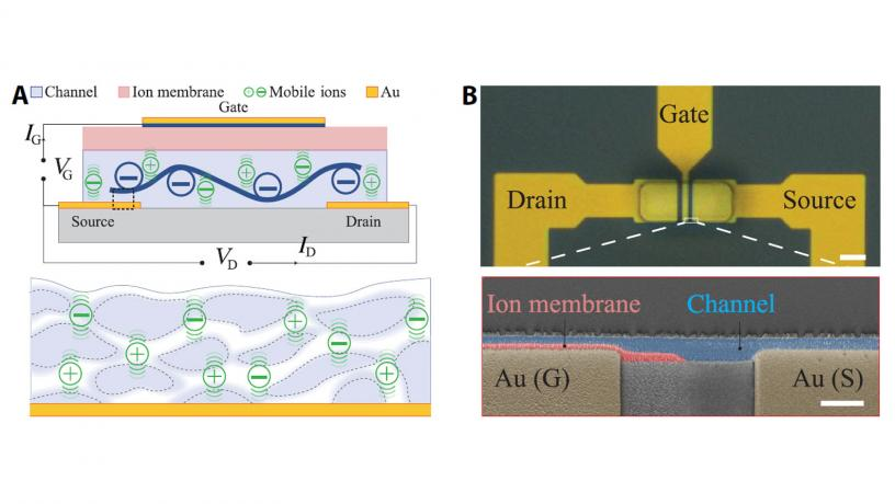 Nuovo transistor a trasmissione ionica per le interfacce cervello-computer