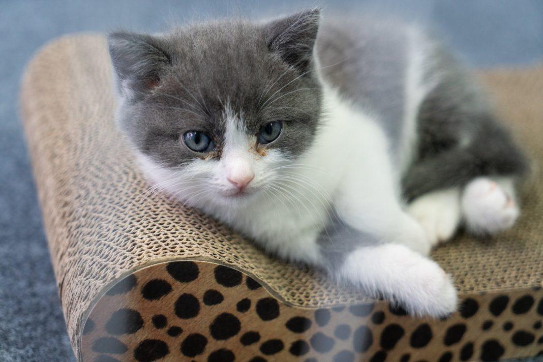 prima clonazione di un gatto in Cina