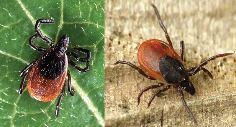 zecche malattia di Lyme
