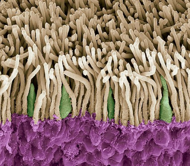 Riprogrammazione cellulare lampo ridà la vista ai topi. Credits: ScienceRF