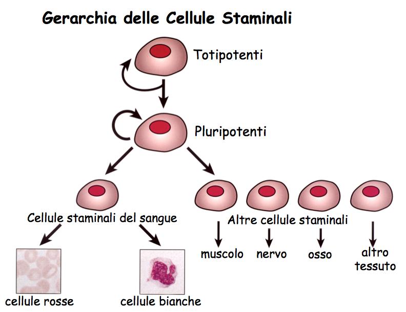 Differenziamento delle cellule staminali