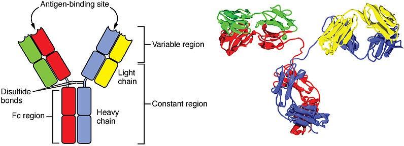 anticorpi contro il Covid-19