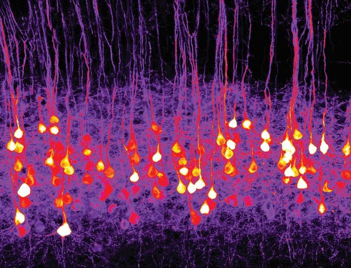 Il primo odore artificiale percepito dalle cellule del cervello. Credits: Riccardo Beltramo/IIT
