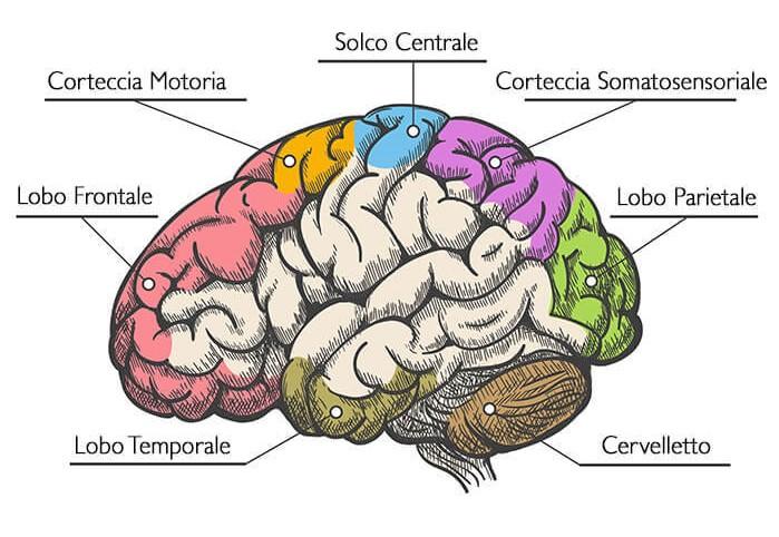Il cervello artificiale: replicare in laboratorio il nostro organo più complesso. Credits: Anatomia dell'Uomo (edi-ermes)