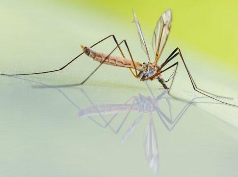 Zanzare, lo studio che elimina la possibilità di trasmissione del coronavirus
