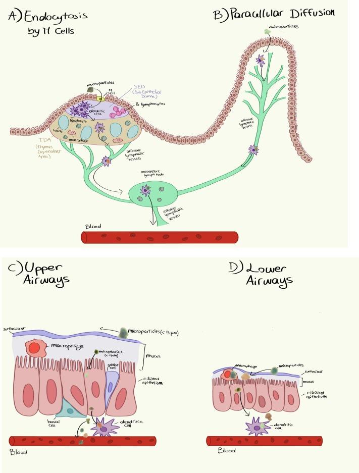 Microplastiche placenta
