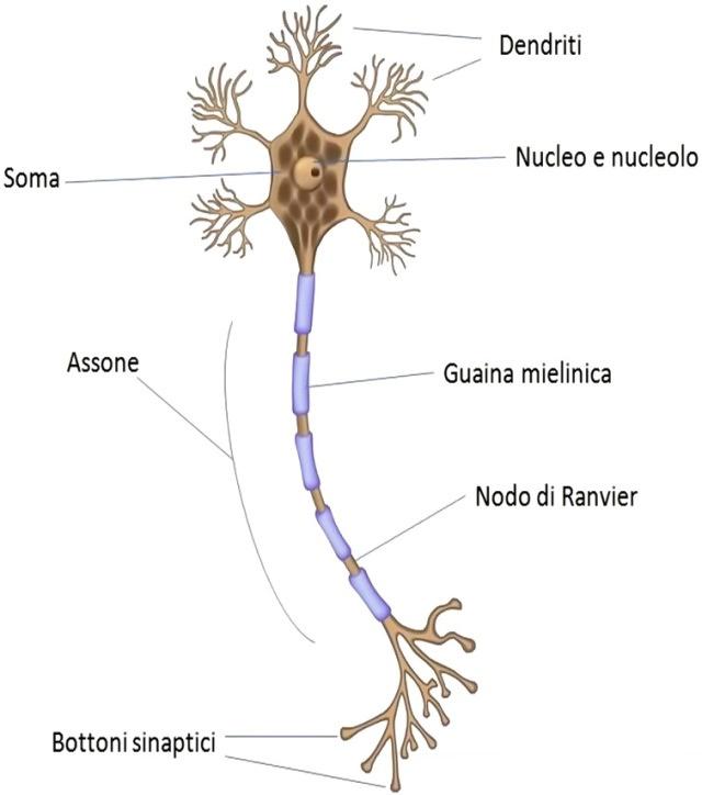Sclerosi multipla, svolta nella ricerca: le cellule che producono mielina sono sane ma bloccate dall'infiammazione. Credits: Medicina Online