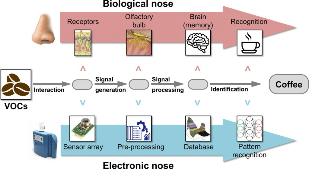 "Diagramma schematico che illustra il funzionamento dei nasi elettronici in analogia con la sua controparte biologica. Fonte: Peters et al., ""Detection of Barrett's oesophagus through exhaled breath using an electronic nose device"""