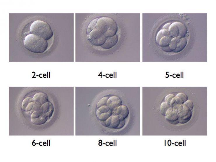 Medicina Rigenerativa: ottenuti primi embrioni umani sintetici