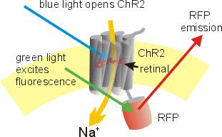 Terapia optogenetica ripristina parzialmente la vista in un paziente cieco