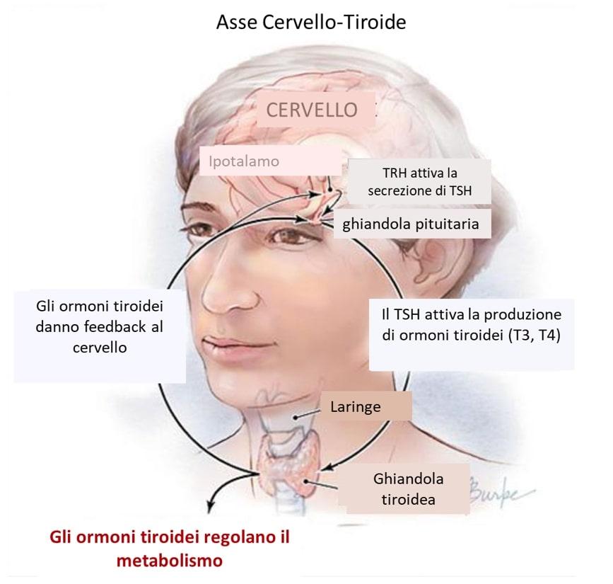 Tiroide: fisiologia, patologia e trattamenti dei disturbi. Credits: JAMA