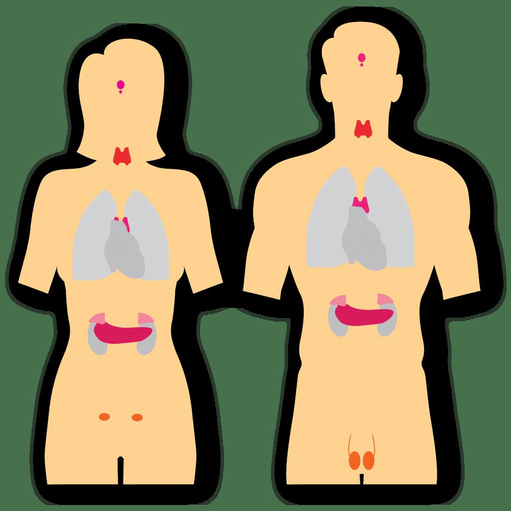 La tiroide rientra nel sistema endocrino