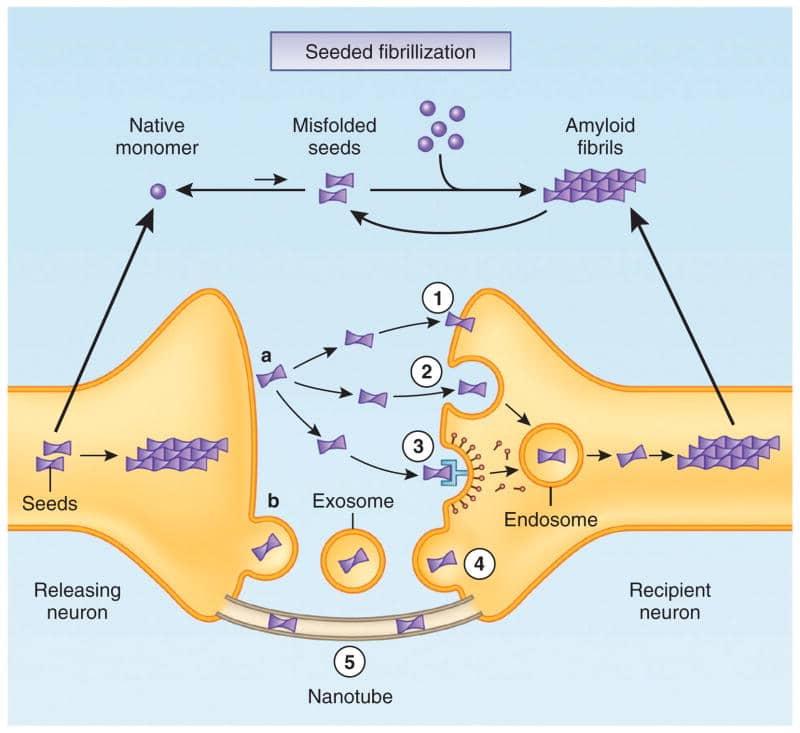 diffusione delle proteine anomale nel sistema nervoso centrale