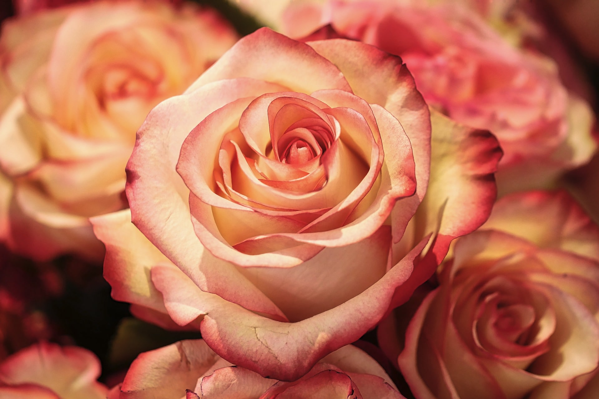Antiossidanti naturali: l'interessante scoperta sui petali di Rosa