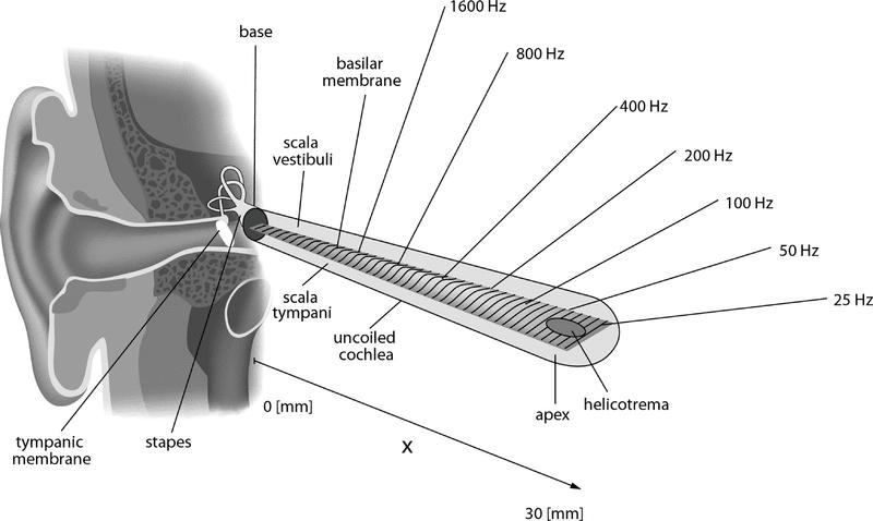 organizzazione tonotopica e acustica