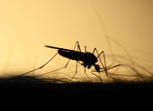 Aedes koreicus, la zanzara coreana che non teme il freddo, è sbarcata in Lombardia